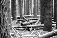 fallen forest 1 BW