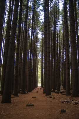 Sugar pines 1