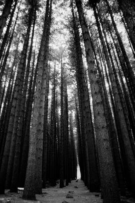 Sugar pines monochromatic