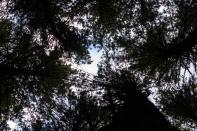Sugar pines sky view 2